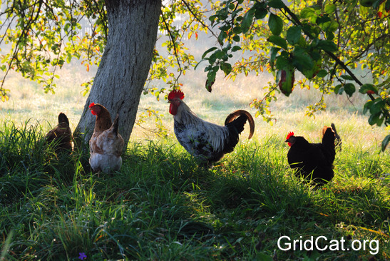 chicken-flock-under-trees