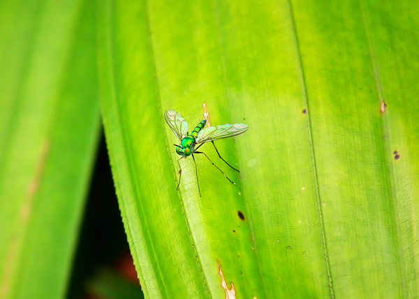 mosquito resting on leaves